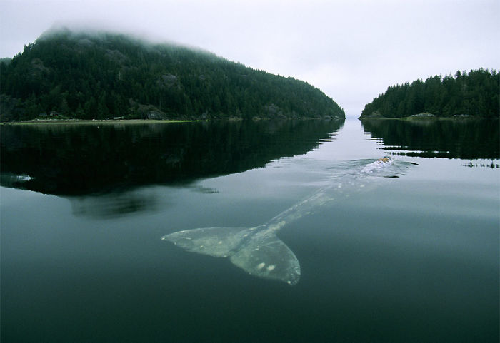 Gray Whale In Grice Bay