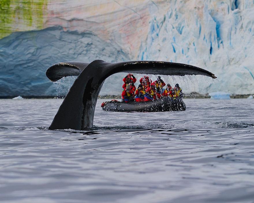 A Humpback Whale Shows Its Fluke