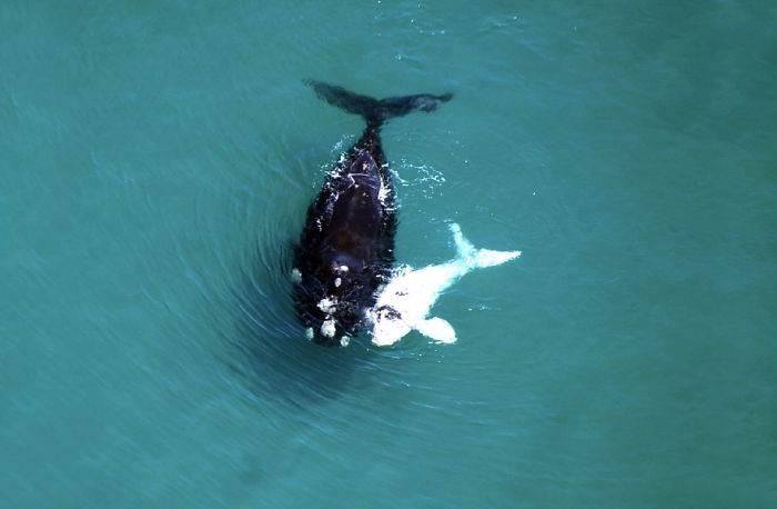 Mother Whale And Albino Calf