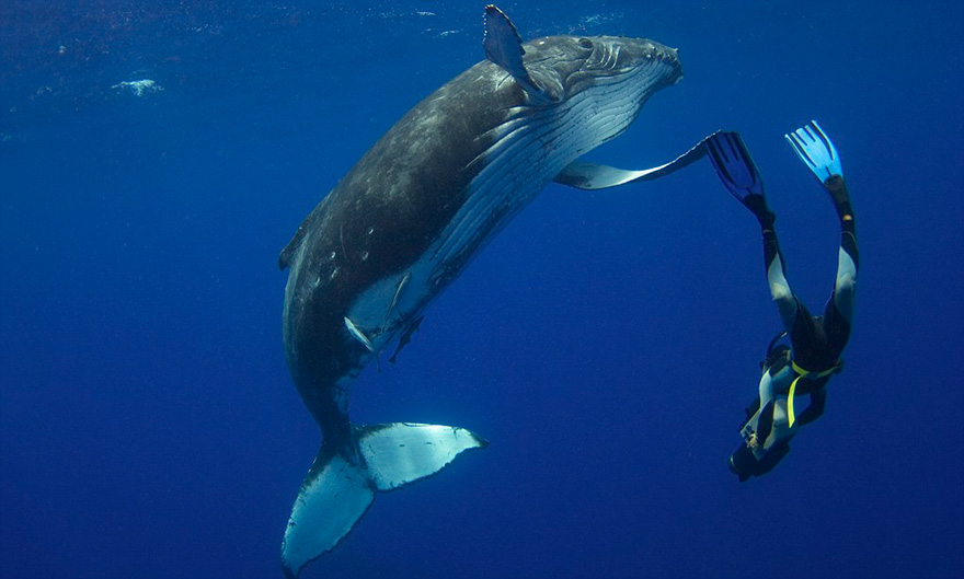 Humpback Whale Calf Dancing With Diver