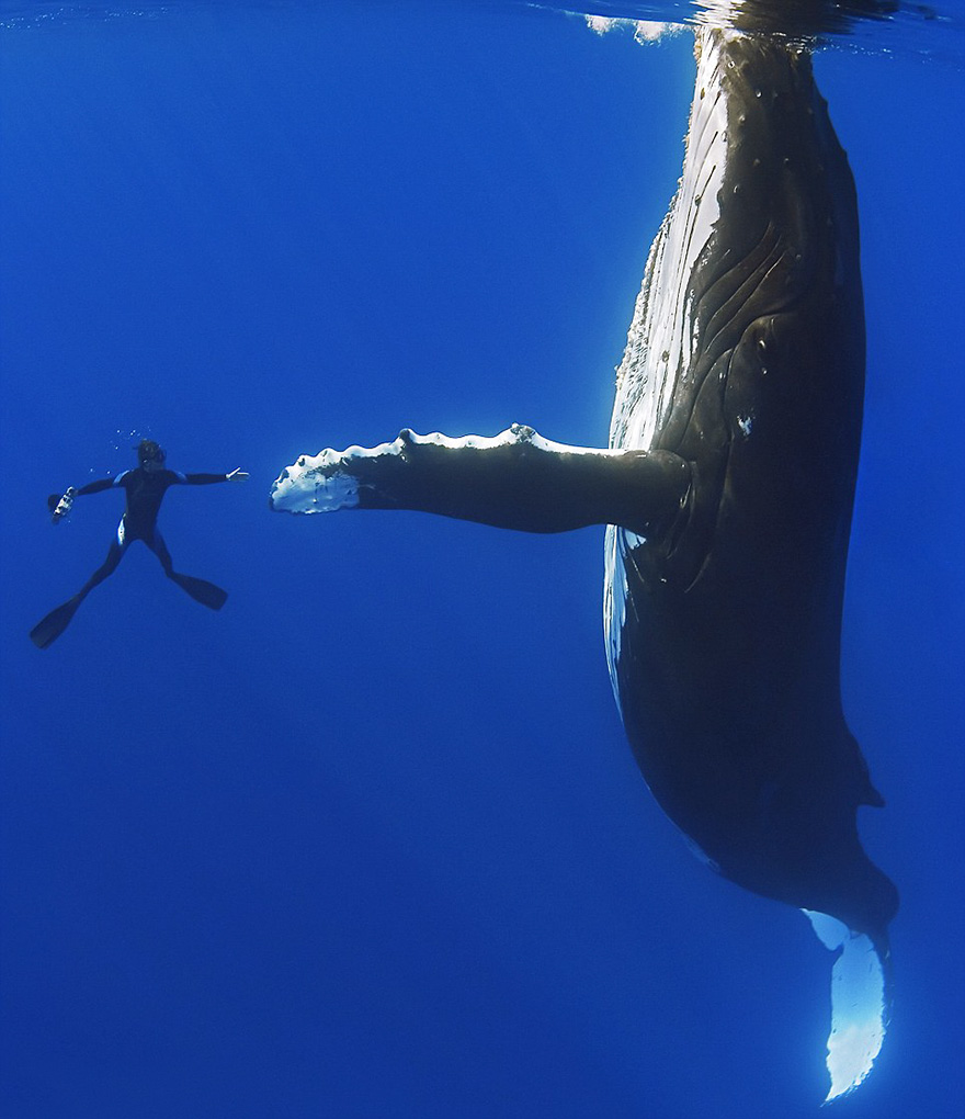 Humback Whale And Diver Shake Hands