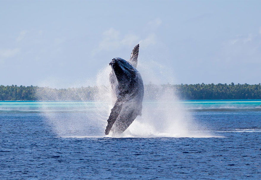 Whale In Pacific Ocean