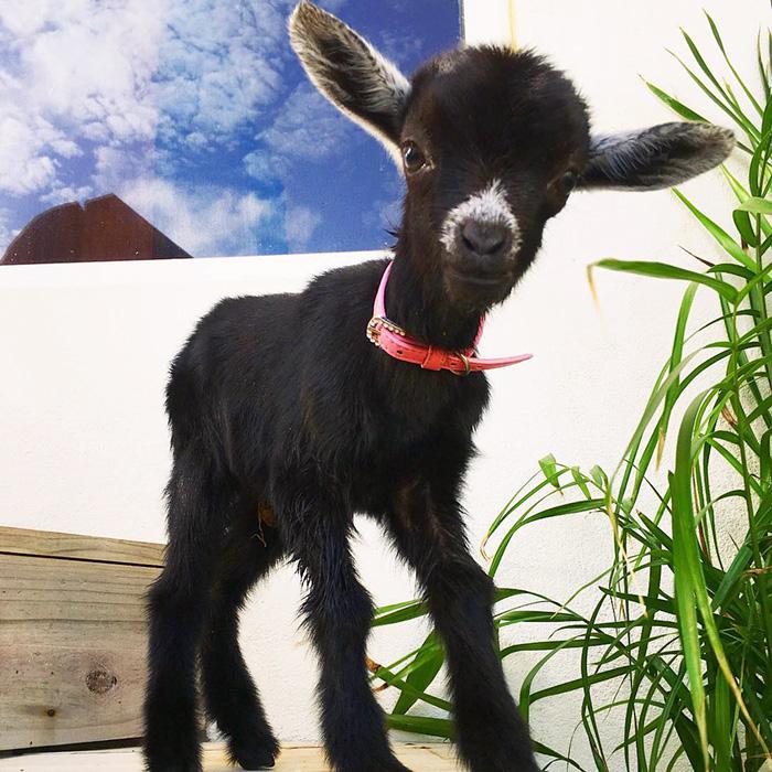 yoga-goat-penny-rachel-brathen-71