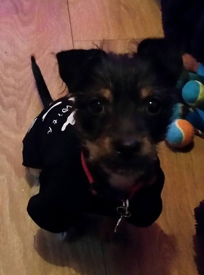 Teddy, Our 4 Month Old Fox Terrier/chihuahua Puppy!