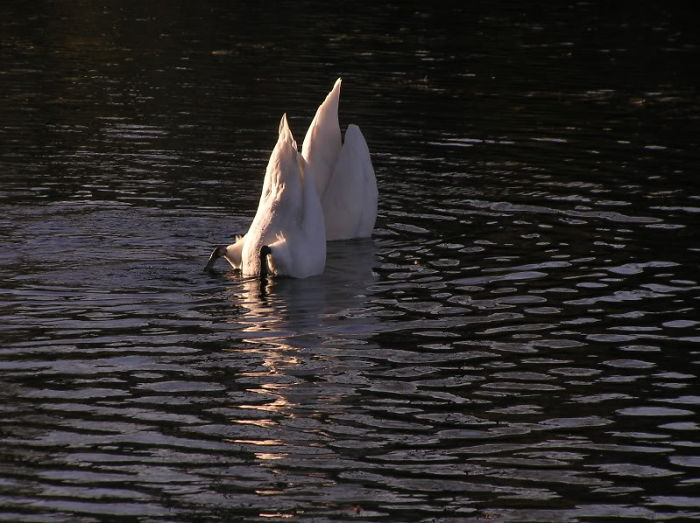 Swans Protect Themselves From Predators By Disguising Themselves As Sailboats.