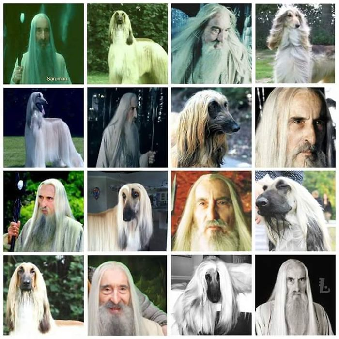 Afghan Hound Or Saruman?