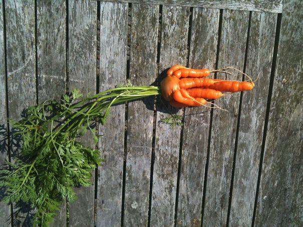 Ihuddy Carrot