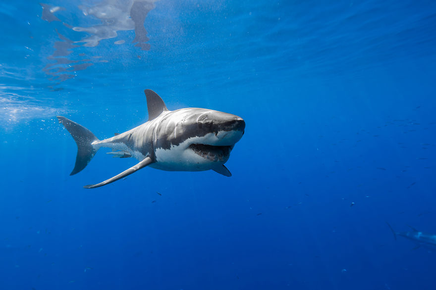 images of great white sharks - photo #43