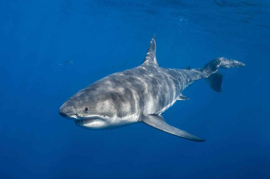 images of great white sharks - photo #35