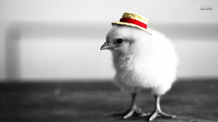 A Chick In A Hat…