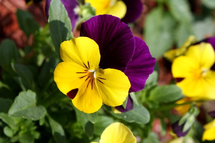Pansy, Originated In Europe