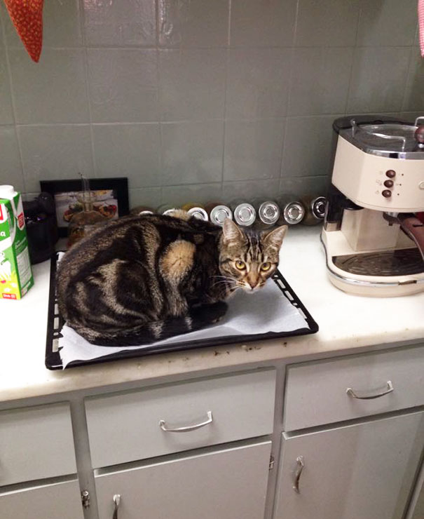 Warm Oven Tray, Turn Around For One Second, And Suddenly - Cat