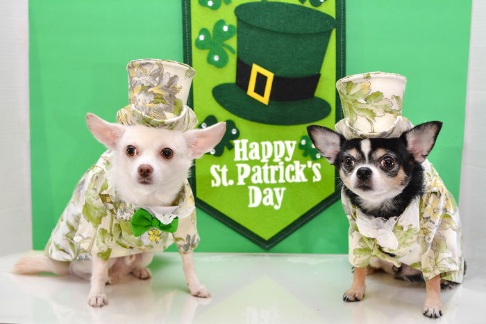 Chihuahuas Celebrate St. Patrick's Day
