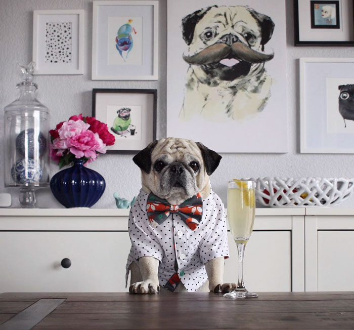 Rocco The Pug Is The Most Stylish Bartender On Instagram (10+ Pics)