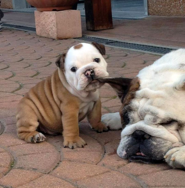 Awwww Such A Cute Bulldog Puppy Trying To Wake Up Daddy
