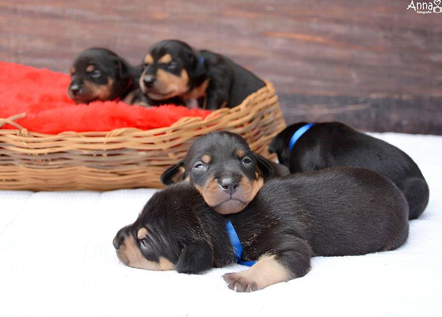 dog-maternity-photoshoot-puppies-lilica-ana-paula-grillo-14