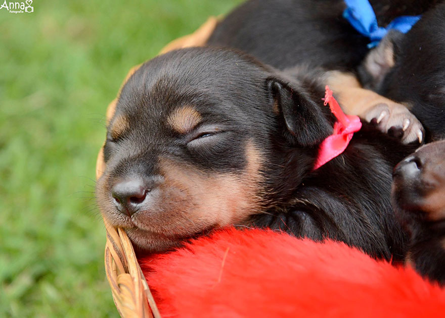 dog-maternity-photoshoot-puppies-lilica-ana-paula-grillo-3