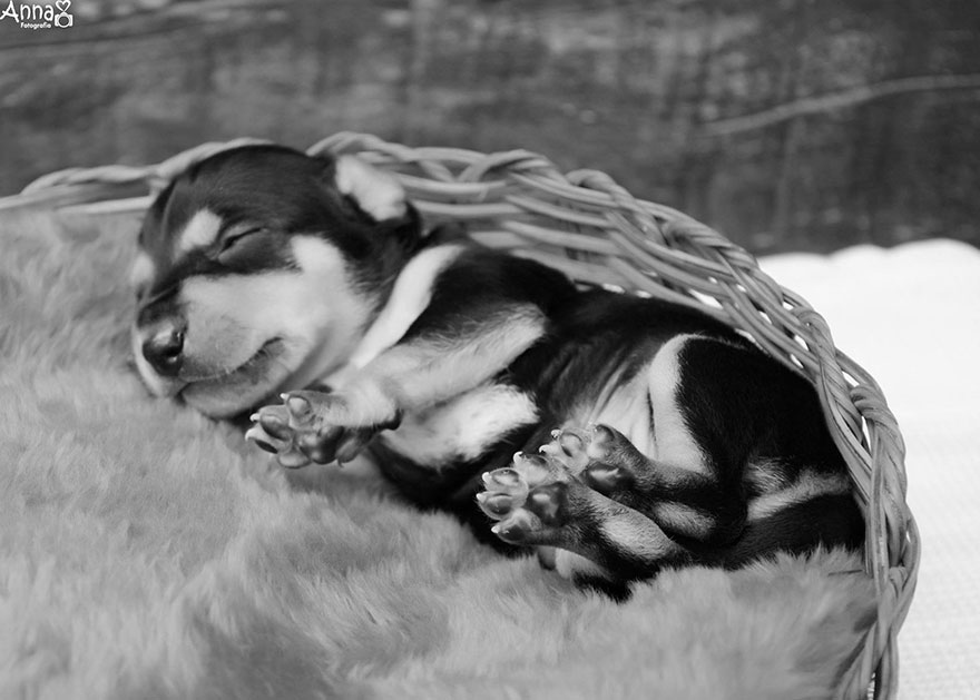 dog-maternity-photoshoot-puppies-lilica-ana-paula-grillo-6
