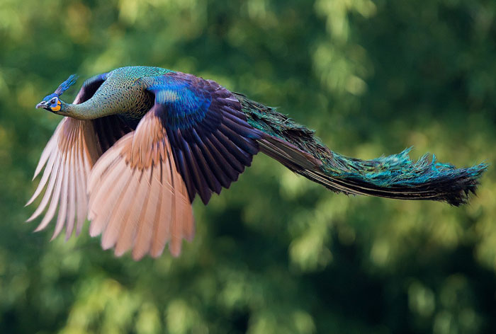 How Peacocks Look In Mid-Flight (9 Pics)