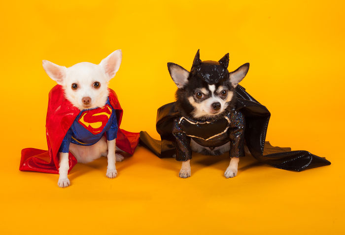 I Created Batman And Superman Costumes For My Two Chihuahuas