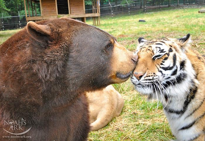 bear tiger