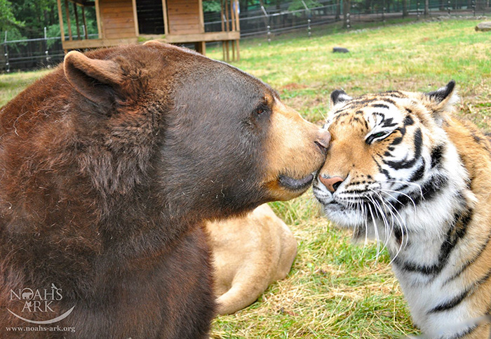 lion-tiger-bear-unusual-friendship-animal-shelter-georgia-17