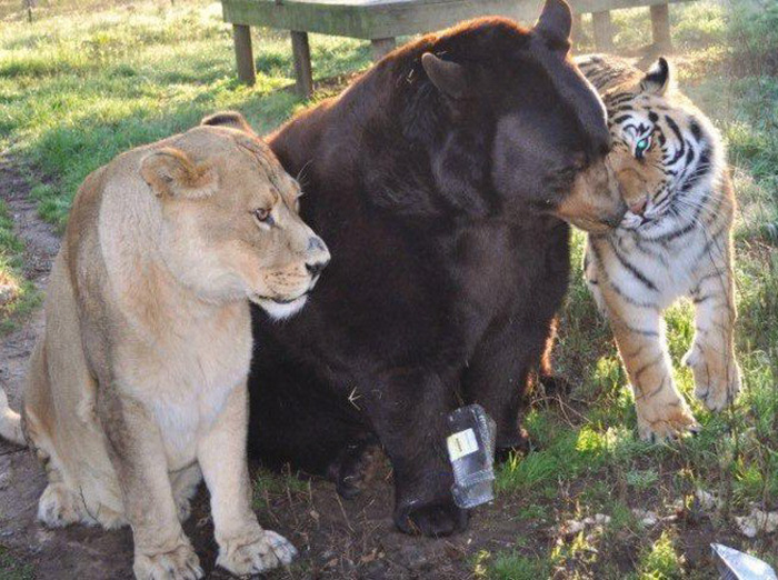 lion-tiger-bear-unusual-friendship-animal-shelter-georgia-3
