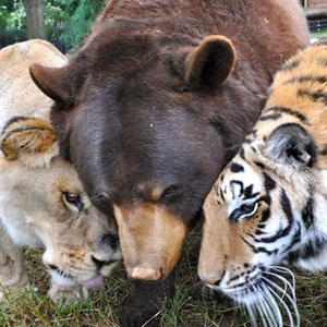 Bear, Lion And Tiger Brothers Haven't Left Each Other's Side For 15 Years
