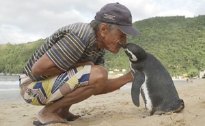 Penguin Swims 8,000KM Every Year To See The Man Who Saved His Life