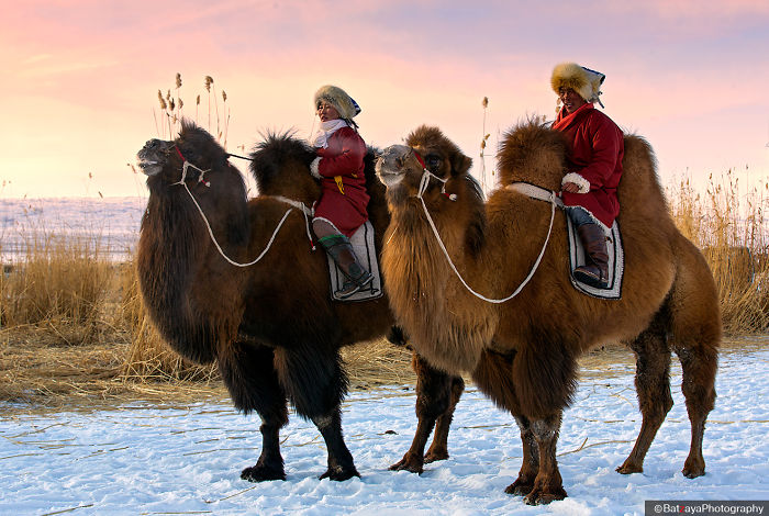 Moments From Camel Race From Silver Reeds Winter Festival In Mongolia