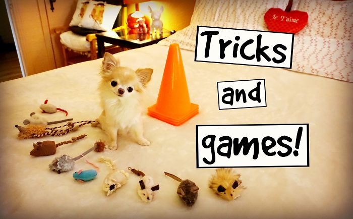 My Cute Puppy Sized Chihuahua Fun Dog Tricks And Games