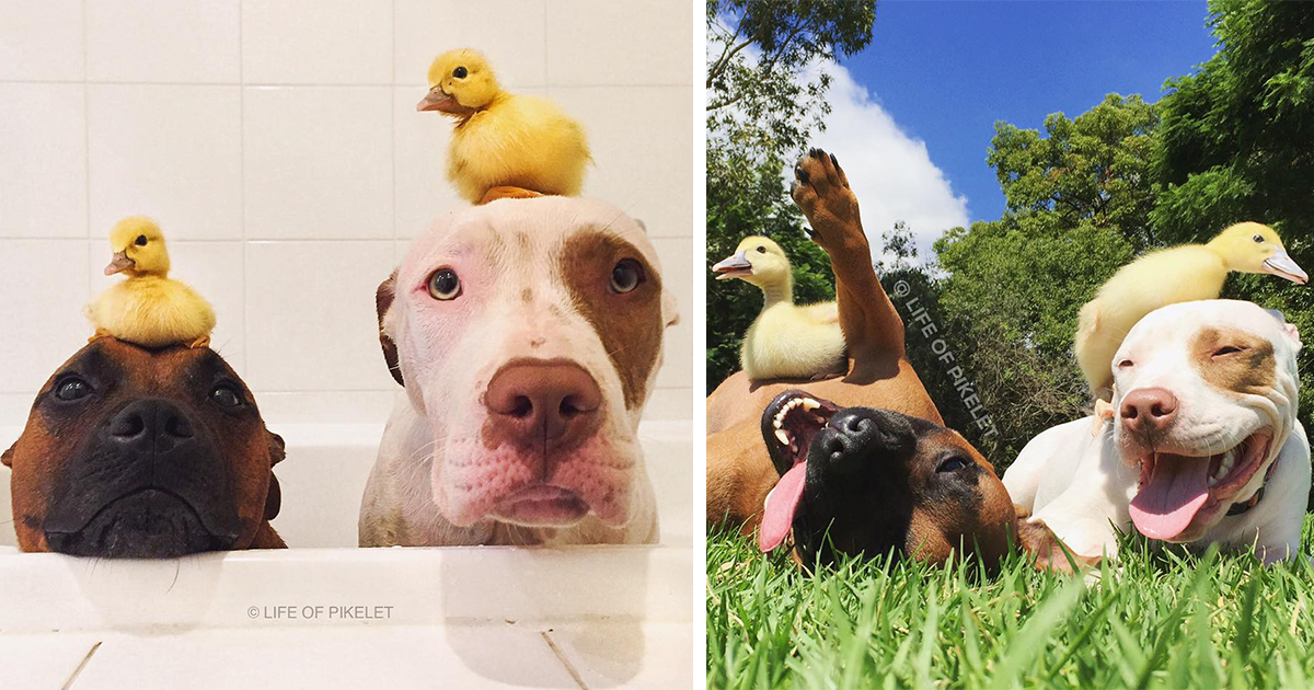 My Rescue Dogs Become Best Friends With Rescue Ducklings