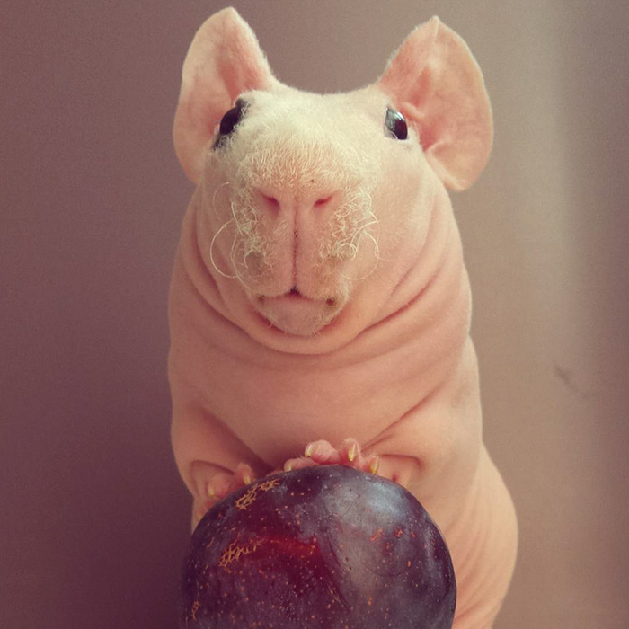 http://static.boredpanda.com/blog/wp-content/uploads/2016/03/naked-guinea-pig-food-photoshoot-ludwik-57__700.jpg