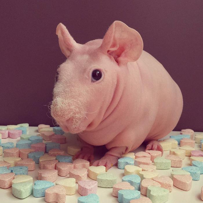 Ludwik Guinea Pig