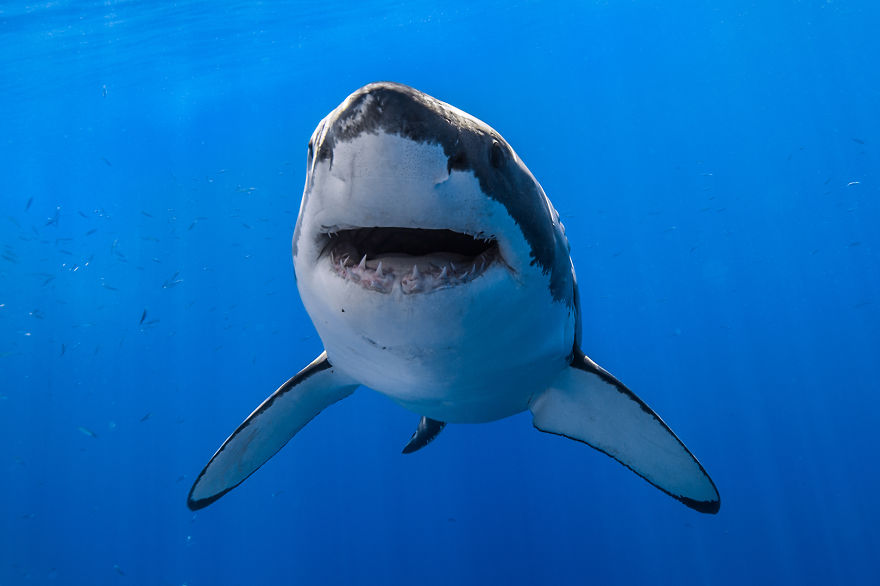 i photograph great white sharks in hopefully a nonscary