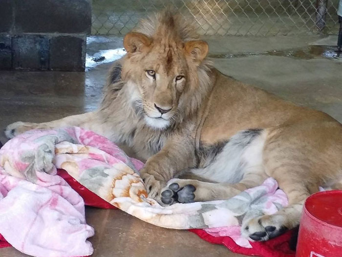 rescued-african-lion-sleeping-with-blanket-8