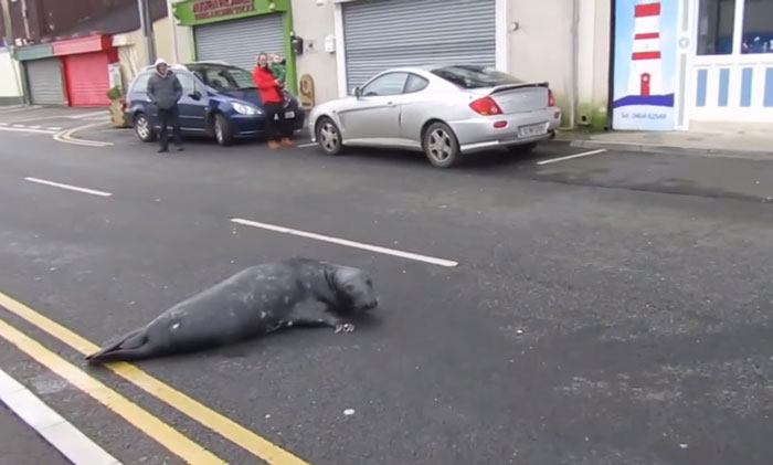 Everyday This Seal Flops Across The Street To His Favourite Seafood Restaurant