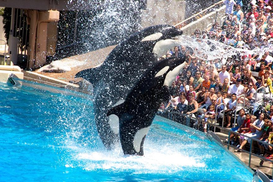 seaworld-stops-breeding-orcas-1