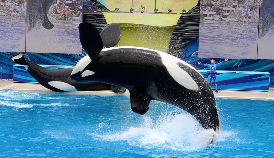 seaworld-stops-breeding-orcas-2