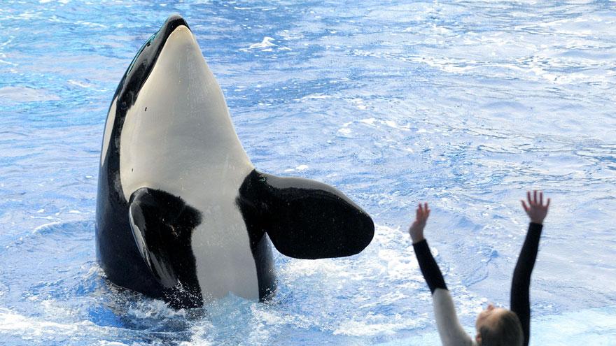 seaworld-stops-breeding-orcas-4
