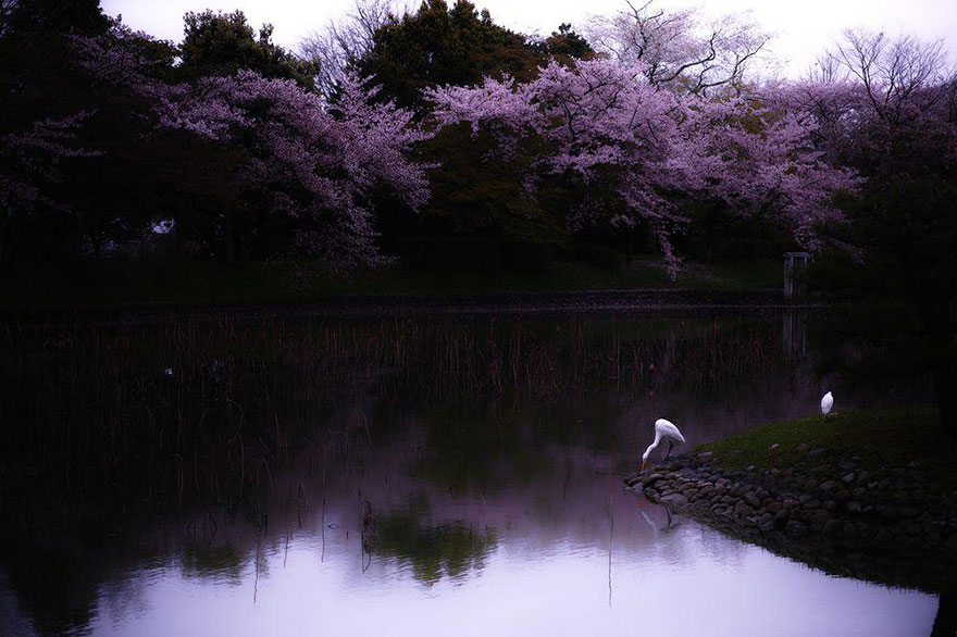 spring-japan-cherry-blossoms-national-geographics-20