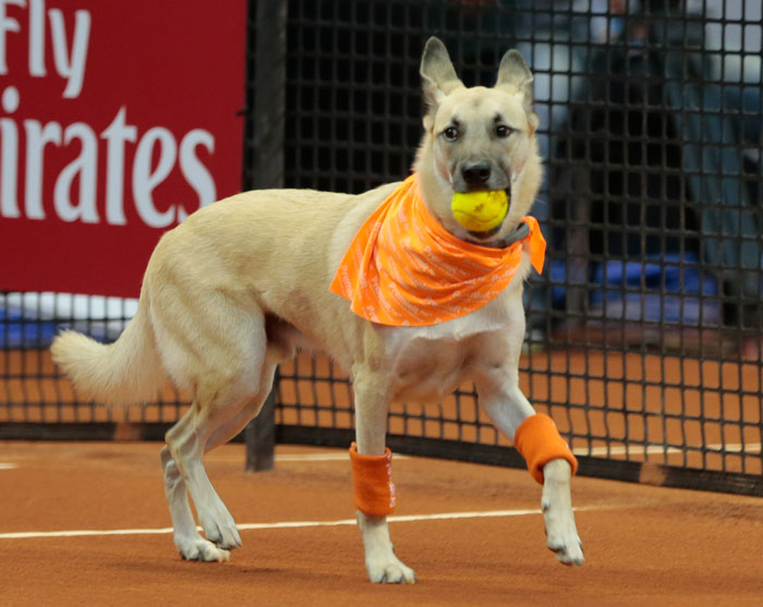 Shelter Dogs Serve As 'Ball Boys' At Brazil Tennis Open