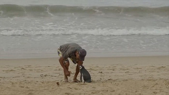 Touching Story Of A Magellanic Penguin's Reunion With Its Savior