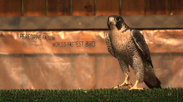 Watch The World's Fastest Bird In Super Slow Motion!