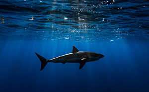 I Photograph Great White Sharks In (Hopefully) A Non-Scary Way