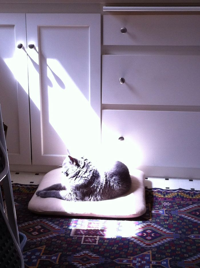My Chartreux Cat, Belle. My Kitchen, Her Afternoon Beach.