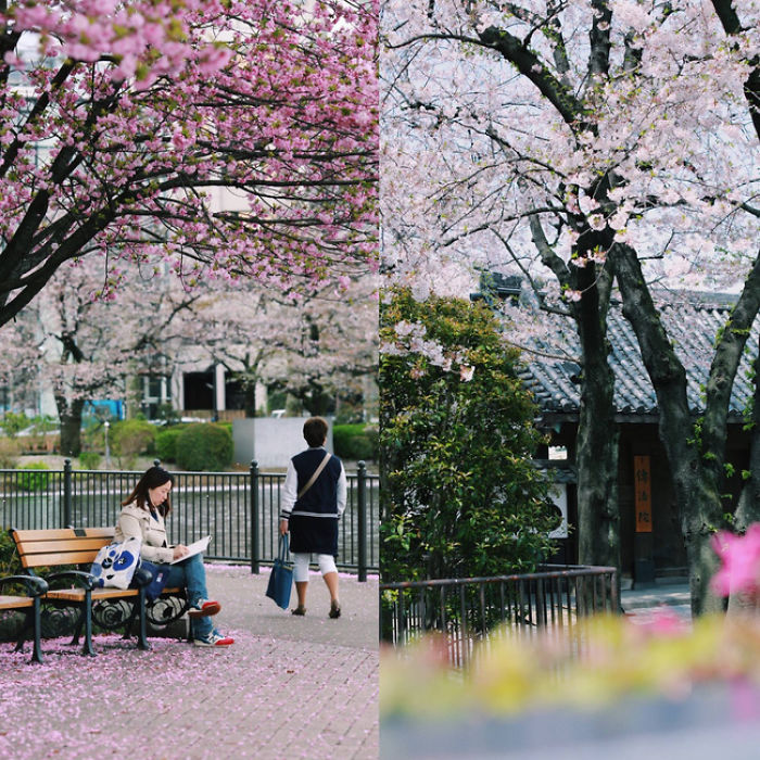 Cherry Blossom In Japan 2016