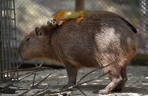 Animals Love Capybaras