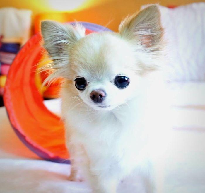 My Tiny Chihuahua Cedric Doing Some Tiny Agility