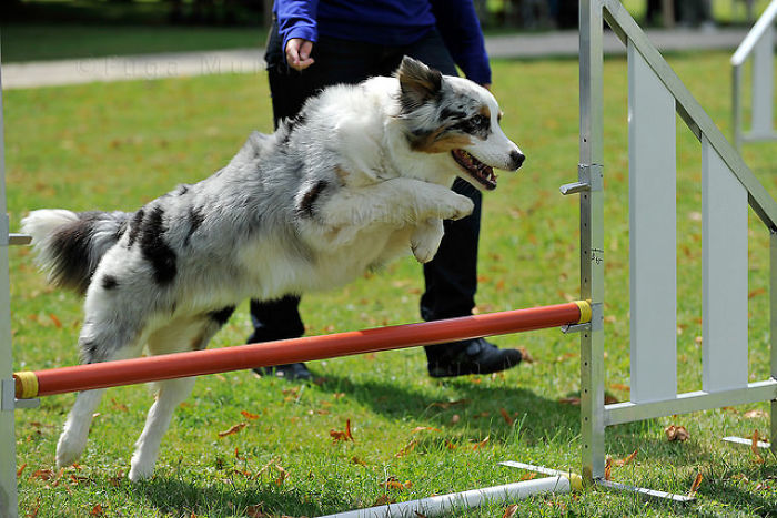 Dog Bar Jumps: Getting Started In Agility